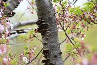 小啄木鳥(コゲラ) - いい男の「歩々是道場」