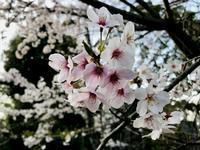平成最後 満開の桜と共に?!2019年5月~新元号「令和」のR年へ - journey