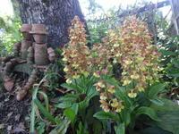 海老根蘭 - だんご虫の花
