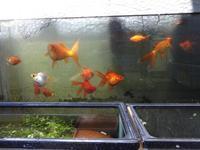 金魚 - だんご虫の花
