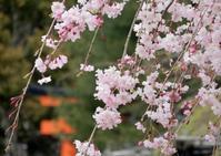 桜づくしの一日(a full day of cherry blossoms) - ももさへづり*やまと編*cent chants d'une chouette (Yamato*Japon)