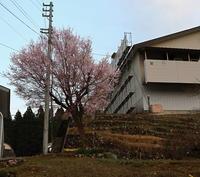 桜が咲いた - ユリ 百合 ゆり 魚沼農場の日々