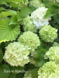 オオデマリが綺麗に咲いています。 - バラと私と時々、カルトナージュ