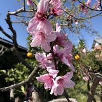 Peach Flower (桃の花) - ファルマウスミー