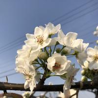Pear's flowers (梨の花) - ファルマウスミー