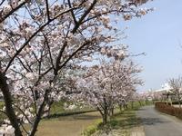 Sakura at Tochiyama River  (栃山川堤防の桜) - ファルマウスミー