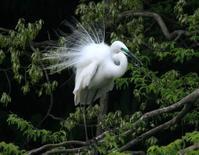 白鷺たち - イーハトーブ・ガーデン