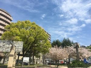 大阪の桜 - 月の沙漠を