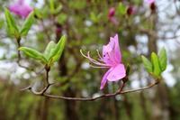 三つ葉つつじ - ~葡萄と田舎時間~ 西田葡萄園のブログ