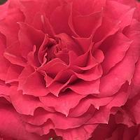 薔薇色の呼吸法 ー クリアリング・メディテーションにて - Clearing Method  クリアリング・メソッド