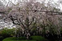 退蔵院のしだれ桜 - Taro's Photo