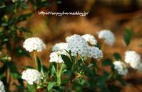 小手鞠(コデマリ) - 花と風の薫り