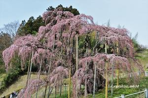 「三春滝桜」Ⅳ - 俺の心旅