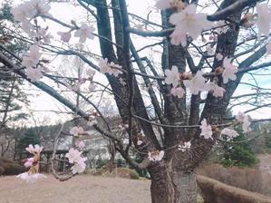 今年初めての桜は母校白百合にて。 - 吉田けい子の青空ネット~いつもココロに青空を。LOVE&blueSKY~