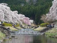 うぐい川の桜 - 鹿深の森