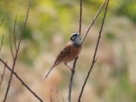 ホオジロ、オオジュリン@境川遊水地公園 - 青爺の野鳥日記