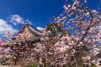 桜咲く京都2019妙蓮寺の御会式桜 - 花景色-K.W.C. PhotoBlog