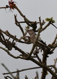 石垣島11・カラムクドリ - 赤いガーベラつれづれの記