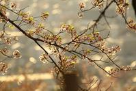 夕日に桜 - はっぴいでいず