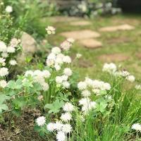 白花チャイブ - さにべるスタッフblog     -Sunny Day's Garden-