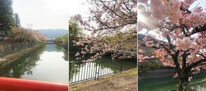 2週間以上、景色はサクラ一色でしたが… - 拓伸BLOG