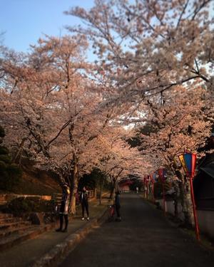 朝日に輝く一目三千本の桜 - 自転車コギコギ日記