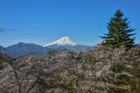 岩殿山の桜 - 風とこだま