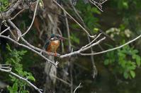 4月19日カワセミ - 阪南カワセミ【野鳥と自然の物語】