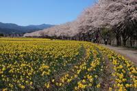 桜だより(28) 水仙畑で (2019/4/16撮影) - toshiさんのお気楽ブログ