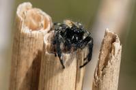■ハエトリグモ 3種19.4.19(ネコハエトリ、デーニッツハエトリ、マミジロハエトリ) - 舞岡公園の自然2