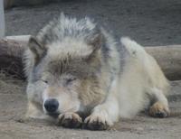 4月18日の円山動物園のオオカミとオラン - 黄金絹毛鼠(コガネキヌゲネズミ)