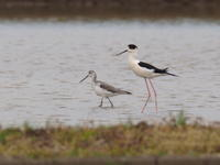 アオアシシギとセイタカシギ - コーヒー党の野鳥と自然 パート2