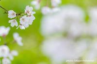 桜撮影会 - Digital Photo Diary