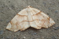 ツマキリエダシャク Endropiodes abjectus abjectus ? - 写ればおっけー。コンデジで虫写真