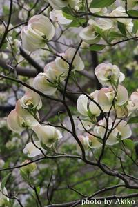 本日のお花は「ハナミズキ」♪ - Blanc de Blancs