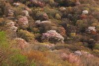 大分県由布院由布岳の山桜の撮影ヘ、、、2019 4月 - 優柔不断なAB型男の独り言 THE dream room.