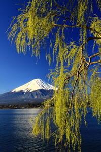 31年4月の富士(14)河口湖の柳と富士 - 富士への散歩道 ~撮影記~