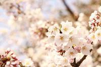 カメラ桜撮影 - くのさんち