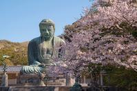 鎌倉大仏と桜 - エーデルワイスPhoto