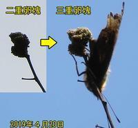 ヒオドシチョウの3重卵塊 - 秩父の蝶