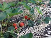 小菜園の苺 - だんご虫の花