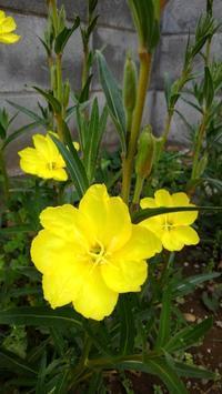 マツヨイグサ開花 - うちの庭の備忘録 green's garden