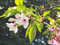シネマ歌舞伎「桜の森の満開の下」を観ました - 美鈴とトラと私とお庭