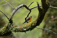 夏鳥キビタキさん&睡蓮の花 - 鳥と共に日々是好日