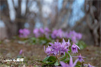 咲いた咲いた カタクリの花 - 藍の郷