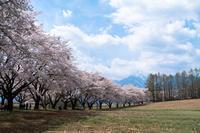 蕪の桜並木 - オーナーズブログ・八ケ岳南麓は晴れています!