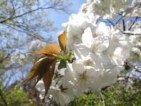 植物園の桜 - がちゃぴん秀子の日記