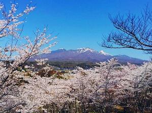 谷戸、みどり湖 桜満開 - ピースケさんのお留守ばん