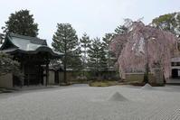 高台寺の枝垂れ桜 - ぴんぼけふぉとぶろぐ2
