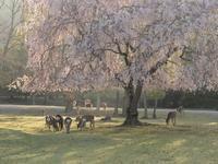 おかっぱ桜 - 南都☆花模様